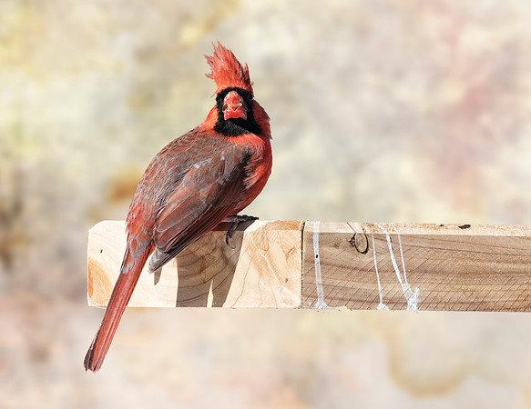 Male Cardinal (in the wind)