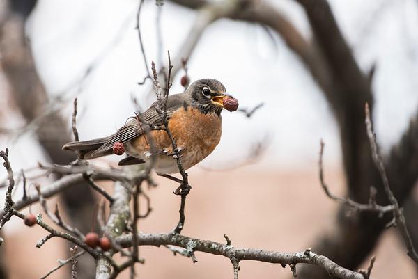 Winter Robin w/ Crabapple