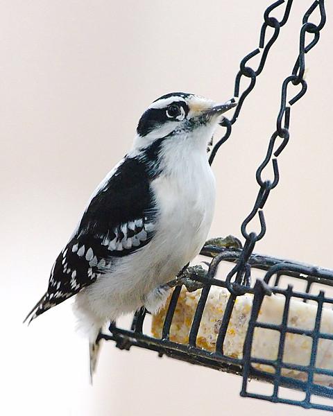 Lady Downy Woodpecker
