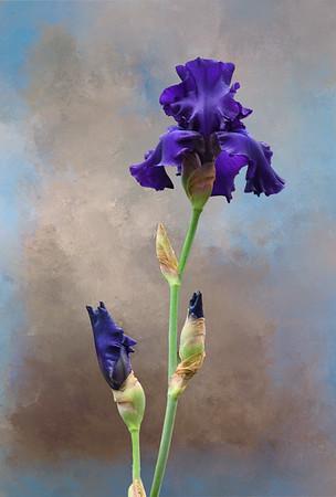 Kathy's Blue Iris