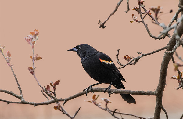 Red Winged Blackbird (Male)