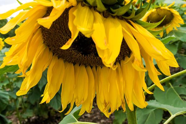 Sunflower Sadly