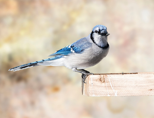 Bluejay (at the feeder)