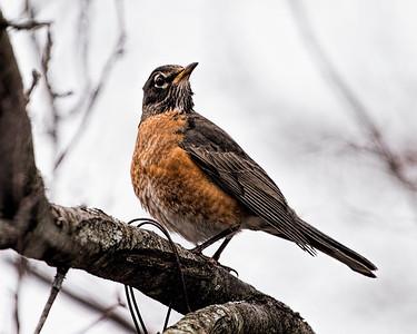 Winter Robin II