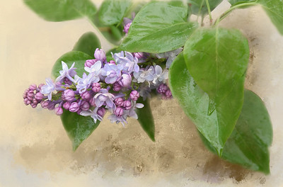 Lilac With Texture