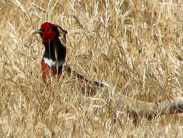 Ring-necked Pheasant 2