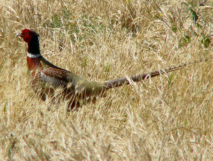 Ring-necked Pheasant 4