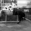 Camargue Bull Races - Saint Andiol France - 2016 - July - 07