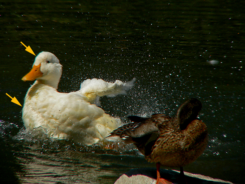No teleconverter and in optical zoom range, action and strong contrast are recipes for CA? Took lots of duck splashing/spreading shots (in 1001 Duck shots gallery) and minimal CA.