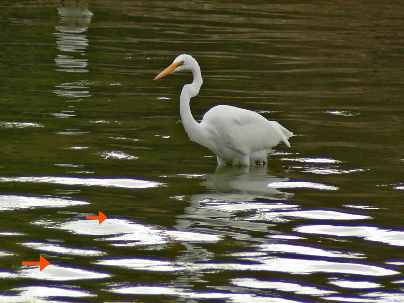 The Egret was clean but not the lower portion of the water. Overcast but in optical zoom and ISO 80.