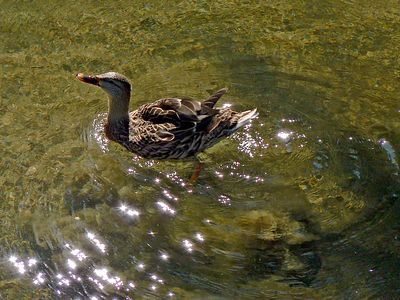 Ducks & Others
