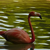 Flamant rose<br /> - F3.6 - 1/100 - 322mm - 100 ISO