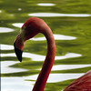 Flamant rose<br /> - F3.7 - 1/40 - 420mm - 100 ISO