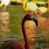 Flamant rose<br /> - F3.7 - 1/250 - 420 mm - 200 ISO