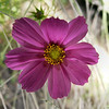 FZ50 - Cosmos Flower<br /> Macro mode - f/2.8 - 1/40 - 37 mm - -0.33 EV - Flash
