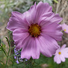FZ50 - Cosmos Flower<br /> Macro mode - f/2.8 - 1/200 - 35 mm - -1 EV - Flash