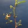 Aeschynomene virginica, Sensitive joint-vetch; Atlantic County, New Jersey 2014-10-17   15