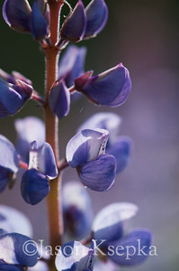 Lupinus perennis, Sundial Lupine; Ocean County, New Jersey  2013-05-14  #107