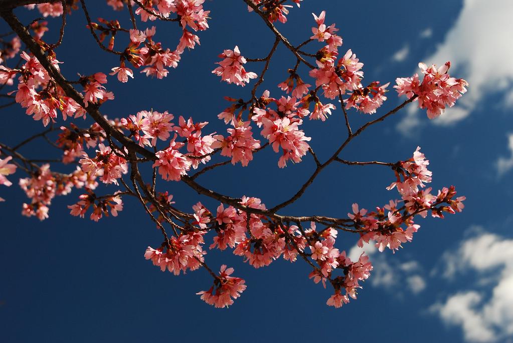 Cherry blossoms, Athens, GA (Clarke County) 2008
