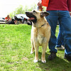 "Nikki  (and Joel) at the German Shepaard Rescue annual picnin at Ridley Creek State Park.   View the <a href=""http://caseyfeldmanmemories.org/archive/files/casey-3_18adeb20dd.pdf""> German Shepard Rescue tribute to Casey</a> in their Summer 2009 Newsletter."