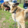 "Nikki at the German Shepaard Rescue annual picnin at Ridley Creek State Park.   View the <a href=""http://caseyfeldmanmemories.org/archive/files/casey-3_18adeb20dd.pdf""> German Shepard Rescue tribute to Casey</a> in their Summer 2009 Newsletter."