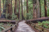 Muir Woods Trail