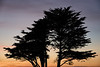 Backlit Cypress Tree