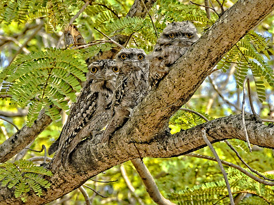 Tawny Frogmouths. 3 of 3.