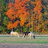 Horse Horses Fall