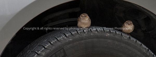 bird_sparrow-wdsm-29nov15-12x09-002-6054