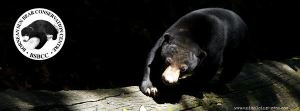 Sun Bears at the BSBCC