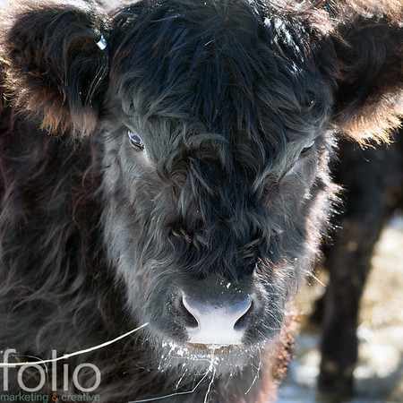Blog #1 - MITCHELL LEDGE FARM BELTED GALLOWAYS