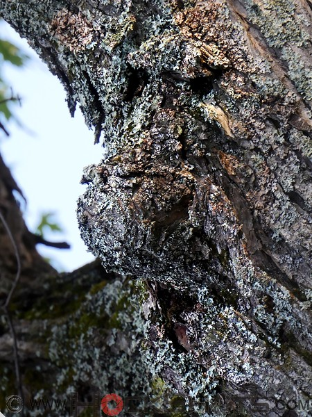 Here's a happy fellow, found on a tree in Haileybury. The large bulbous nose is well framed by an open, smiling mouth and a pair of dark, close-set eyes.  The covering of lichens adds textural details that almost overpower the main facial features, so it may help to squint a little to see the darker patches that form the basis of the features more clearly.