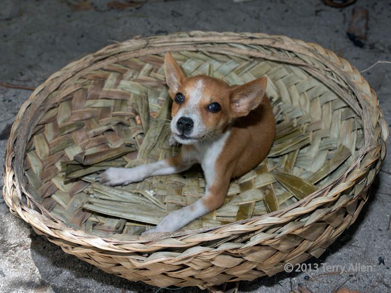 Puppy in a basket,  Bodaluna Island, Laughlan Islands, Papua New Guinea