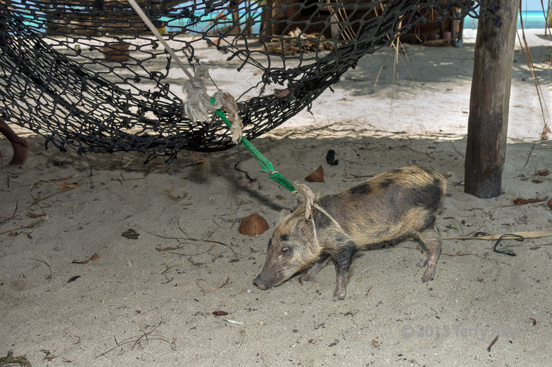 Tethered young pig,  Bodaluna Island, Laughlan Islands, Papua New Guinea