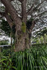Raintree with epiphytes, PNG Nature Park, Port Morseby<br /> <br /> 14 mm, 1/25 sec;   f/11;   ISO 160