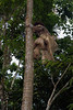 Warrior climbing a palm tree, Ekasup Village, Port Vila, Vanuatu (best larger)
