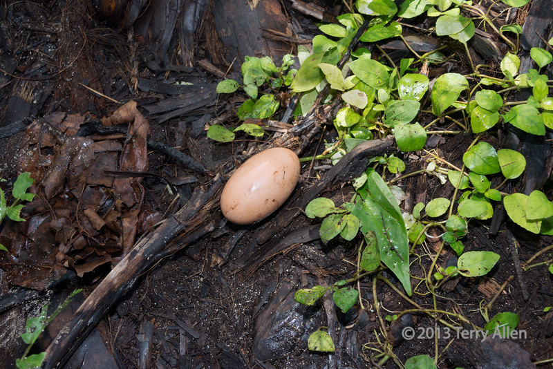 Megapode egg, Santa Ana Island, Solomon Islands<br /> <br /> Megapodes are known as mound builders and incubator birds. These birds have large feet (hence their name) which they use to make big heaps of vegetation or shallow burrows in which they incubate their eggs. Megapodes rely entirely on environmental heat sources – solar radiation, geothermal heat, and microbial decomposition – to incubate their eggs. They harness these heat sources via two main nesting strategies: mound-building or burrow-nesting. Unusually, their chicks are quite well-developed and have their feathers by the time they hatch so they don't need parental care (precocial)