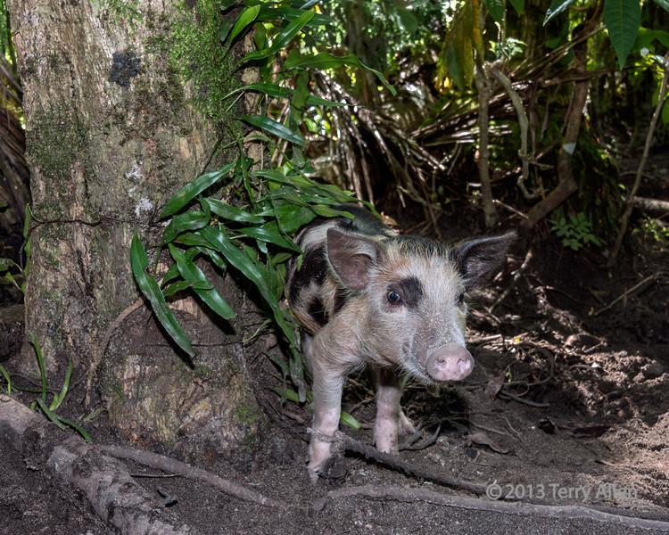Tethered piglet, Santa Ana Island, Solomon Islands