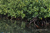 Mangroves with reflections, Utupua Is, Solomon Islands