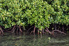 Mangroves, Utupua Island, Solomon Islands