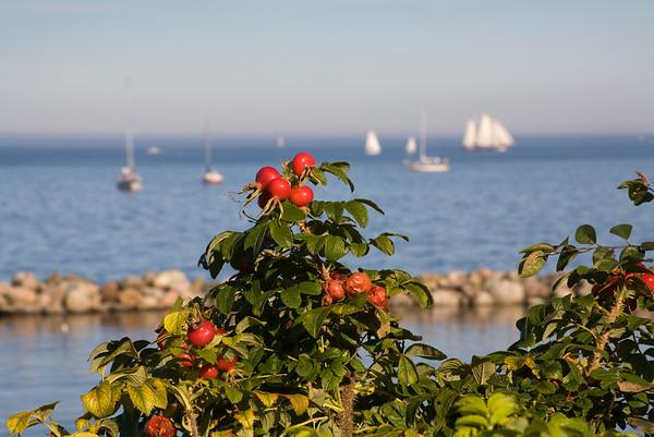 29.09.2011, Kiel;  Segelschiffe vor der Hafenmole des Olympiahafens Kiel-Schilksee. Im Vordergrund Straeucher mit Hagebutten.