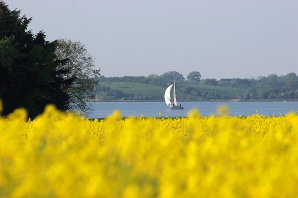 Schleiregion, Ostsee, ein Segelboot auf der Schlei, im Vordergrund ein Rapsfeld.