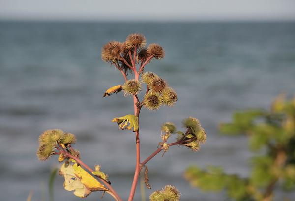 Eine Stranddistel an der Ostsee