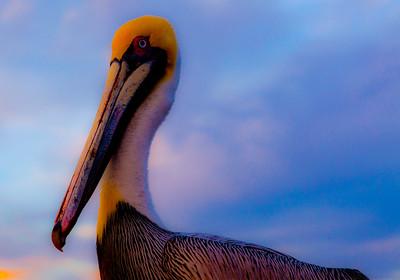 Pelican Impressionist_2528