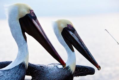 Pelicans Fishing the Fisherman_0756