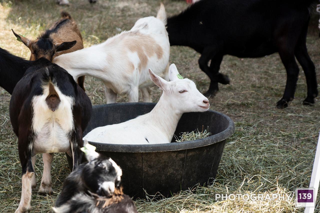 Pufferbilly Days  Petting Zoo - 2017