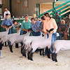 Diane Raver | The Herald-Tribune<br /> 4-H members keep their sheep steady as they are judged.