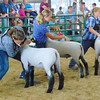 Diane Raver | The Herald-Tribune<br /> 4-H'ers showed off their sheep to the judge.
