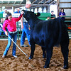 "Debbie Blank | The Herald-Tribune<br /> ""This little gal does a real good job showing this heifer,"" said the judge of Aubrey Neal in the Simmental category. Her animal was named Reserve Champion."